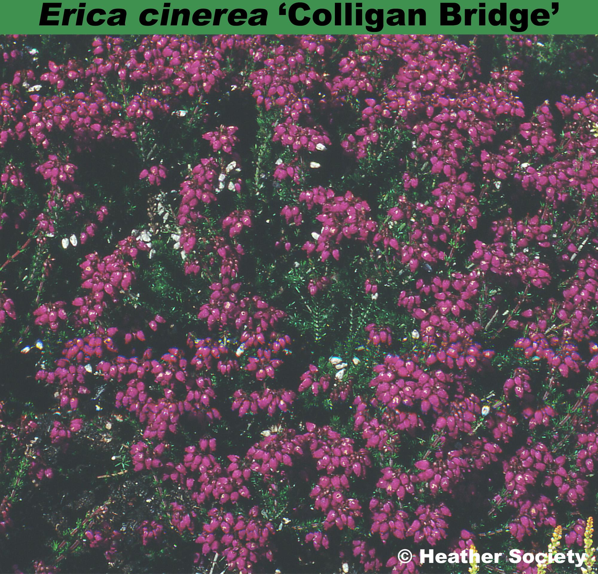 'Colligan Bridge'