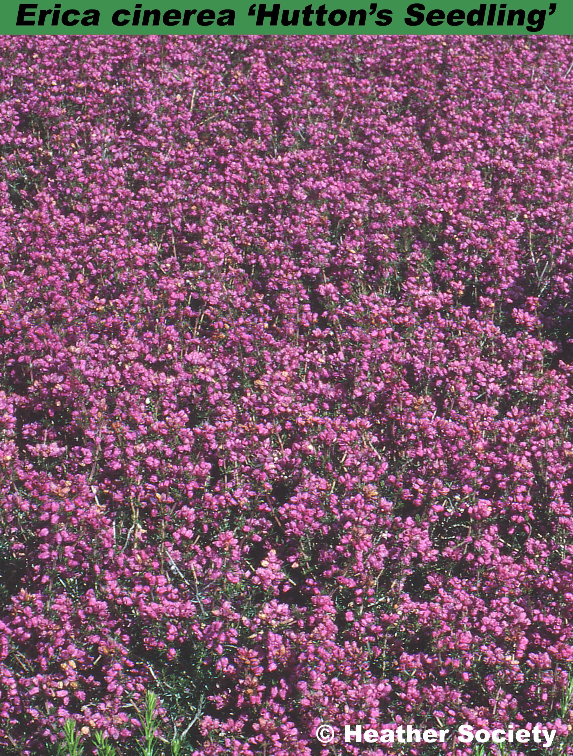 'Hutton's Seedling'