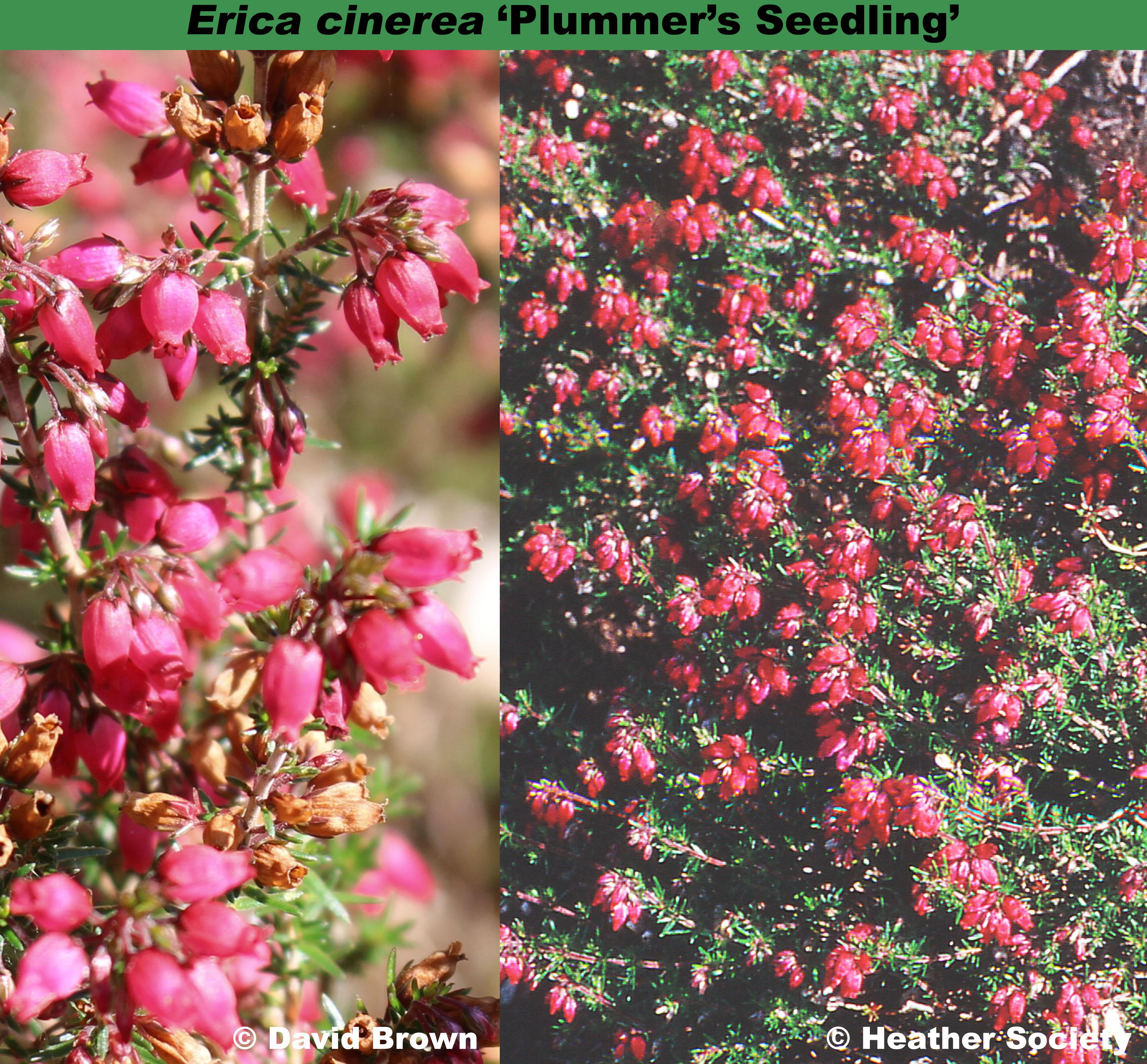 'Plummer's Seedling'