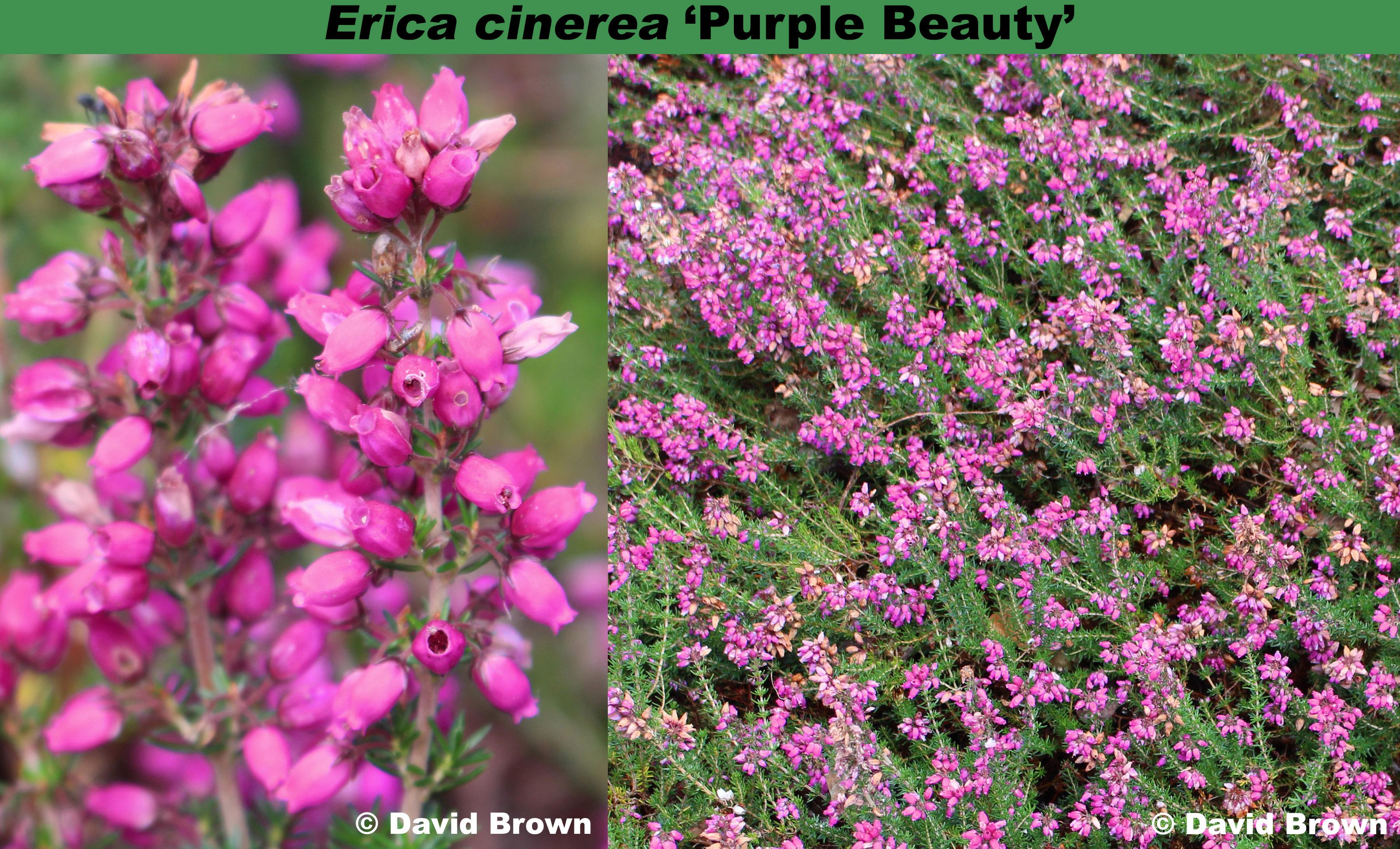 'Purple Beauty'