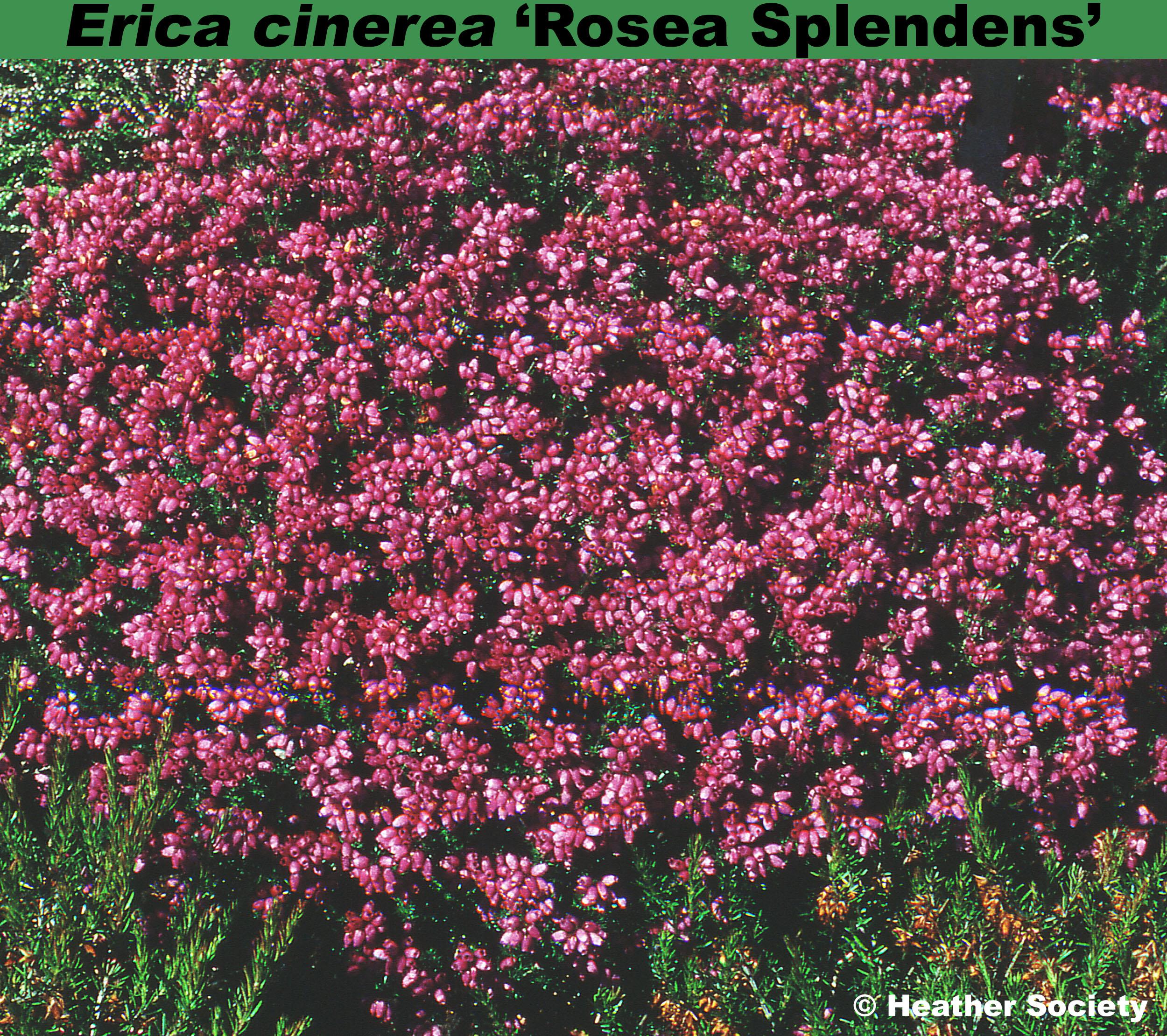 'Rosea Splendens'