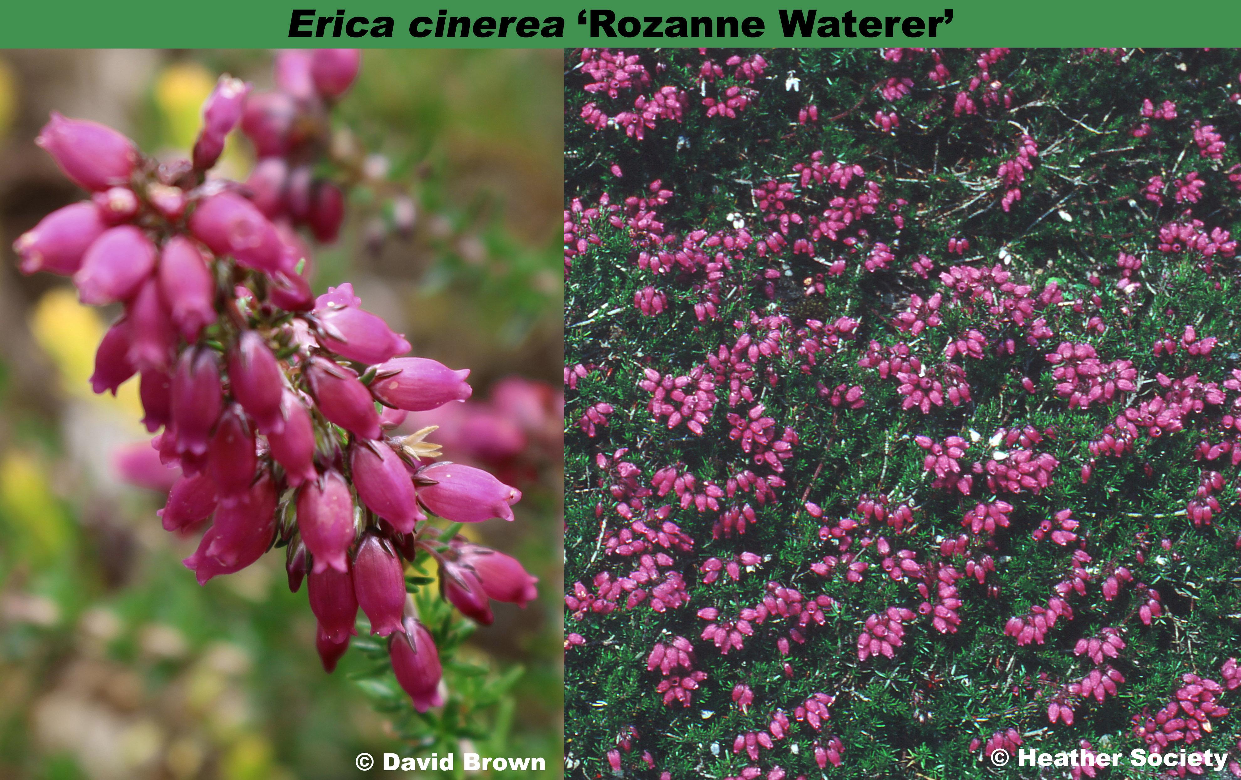 'Rozanne Waterer'