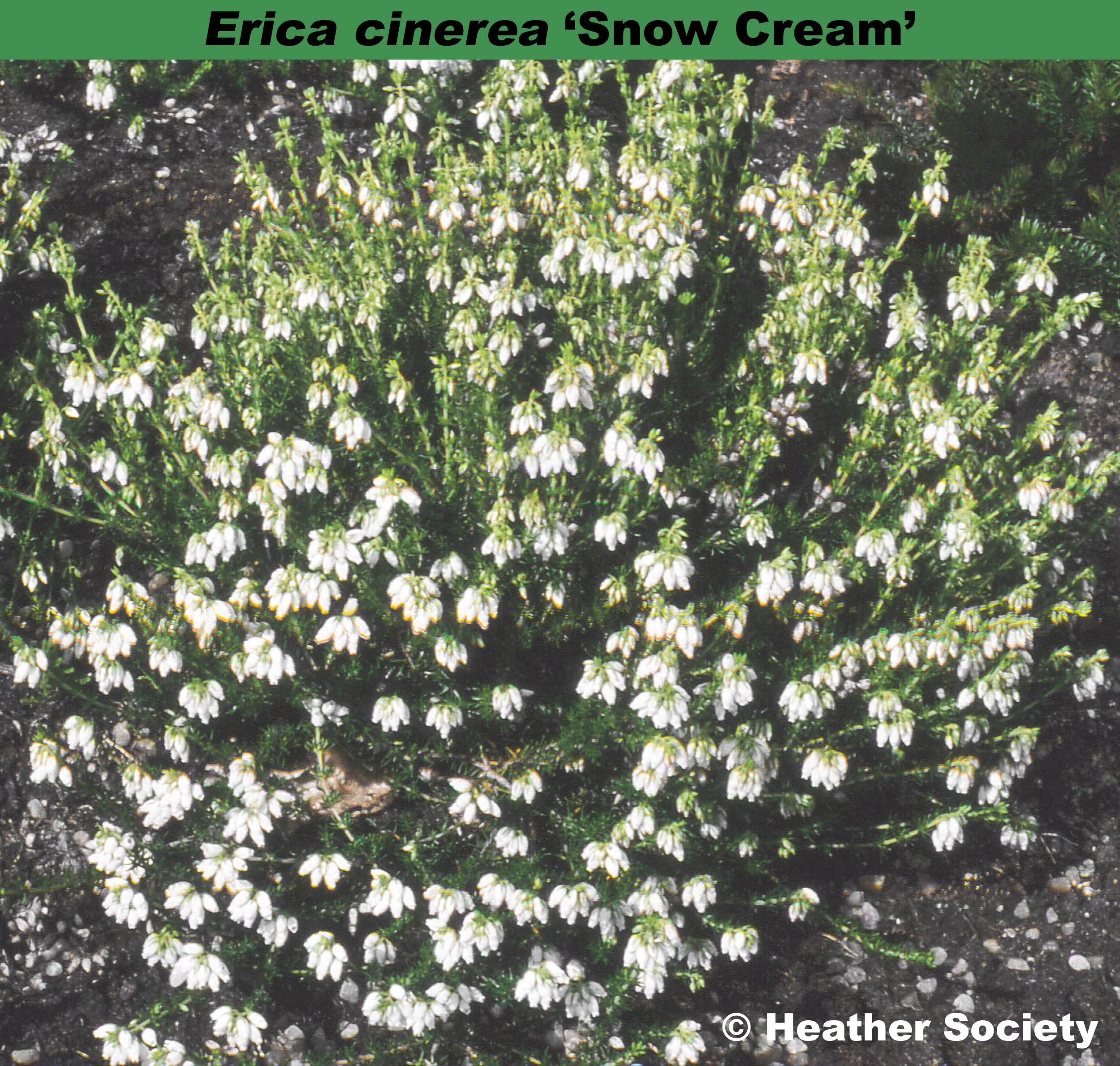 'Snow Cream'