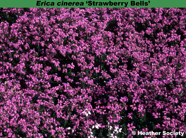 'Strawberry Bells'