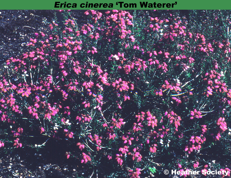 'Tom Waterer'