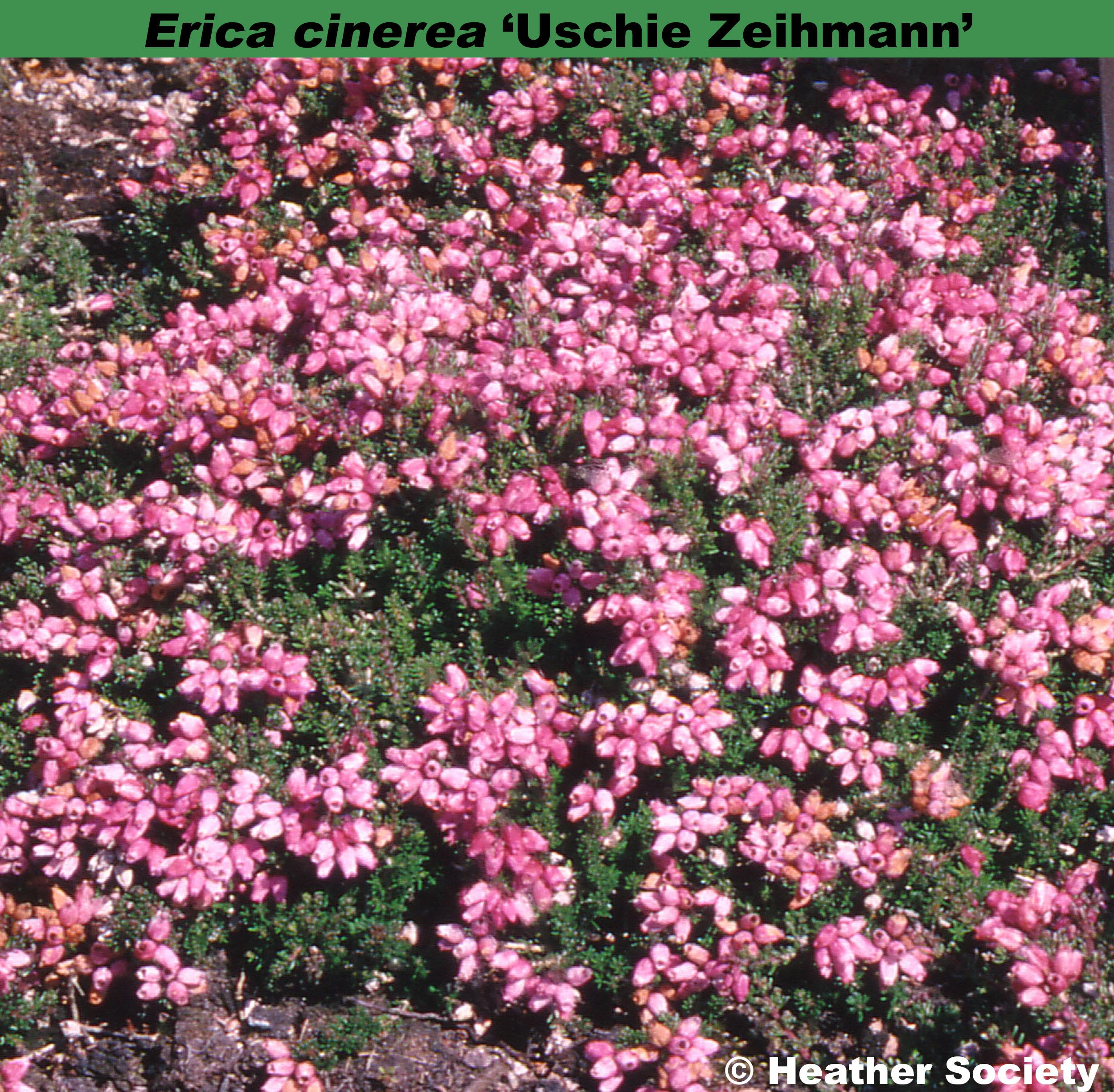 'Uschie Ziehmann'