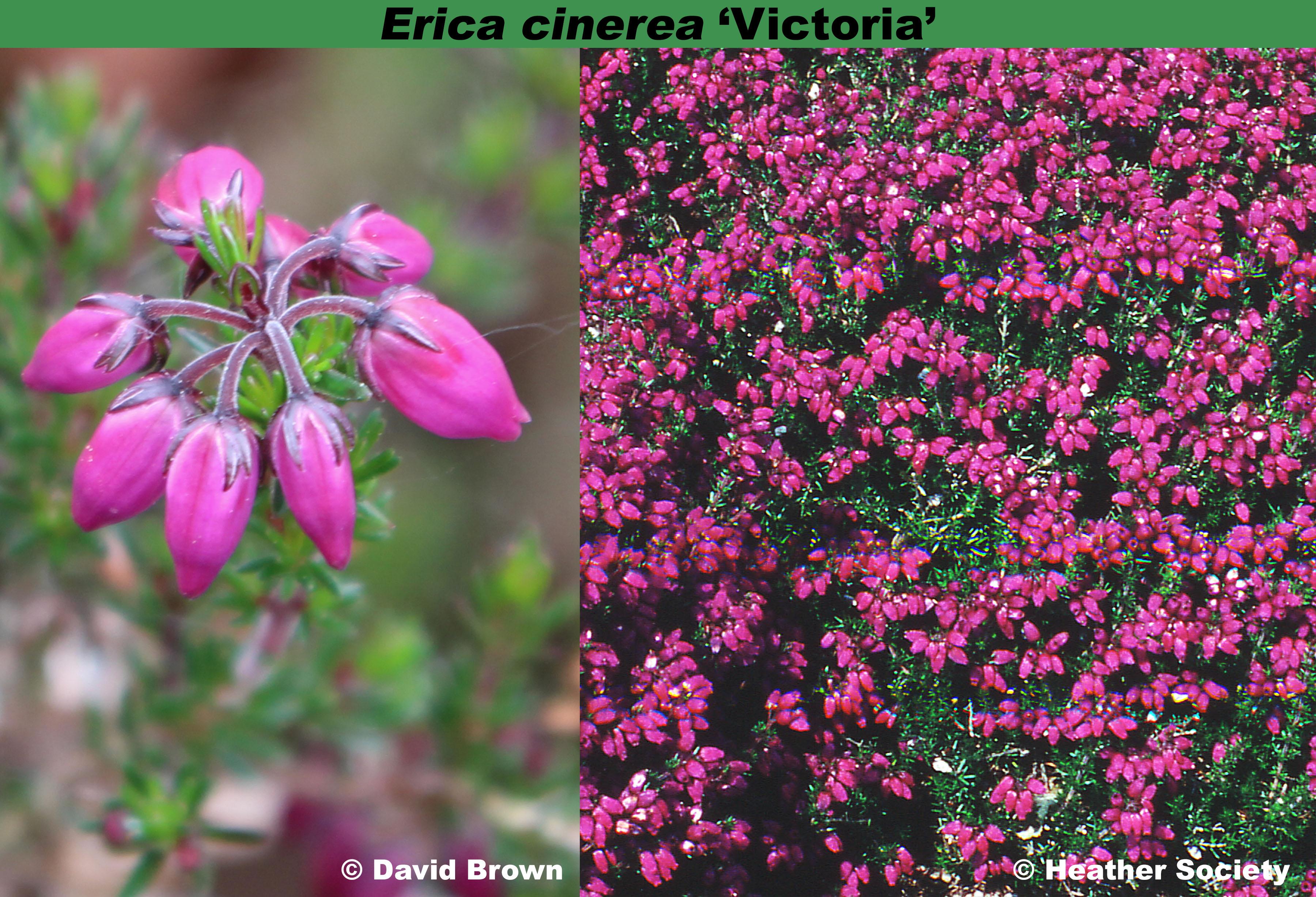 'Victoria'