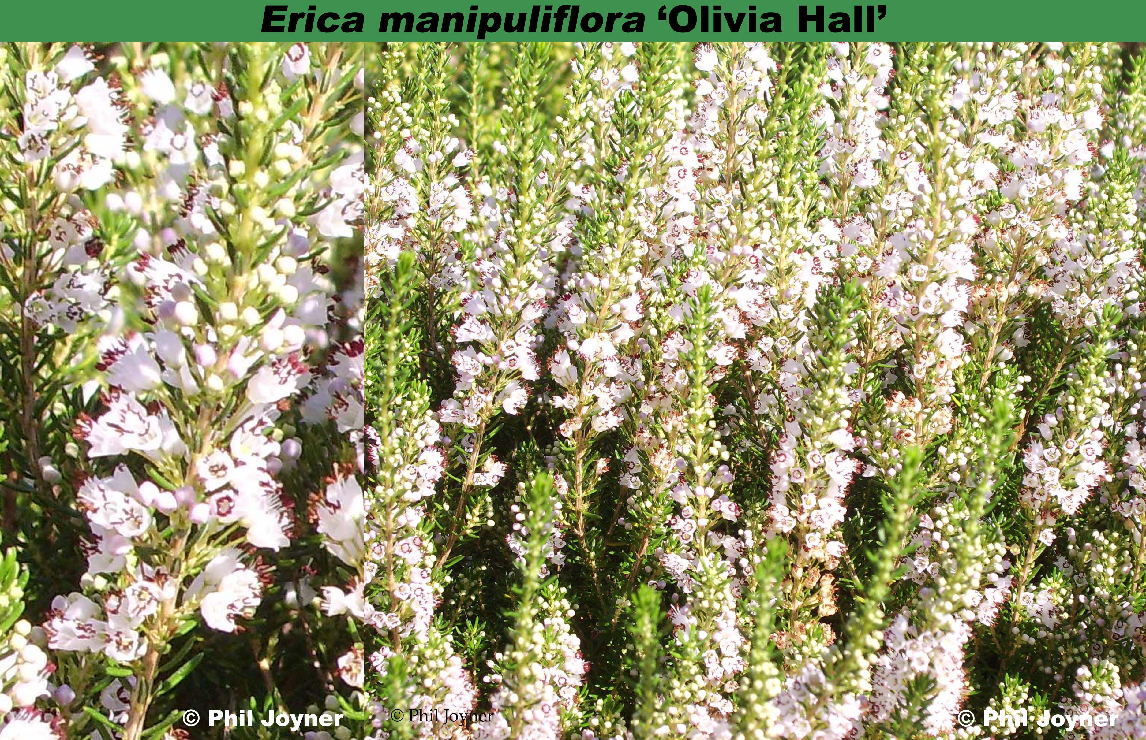 'Olivia Hall'