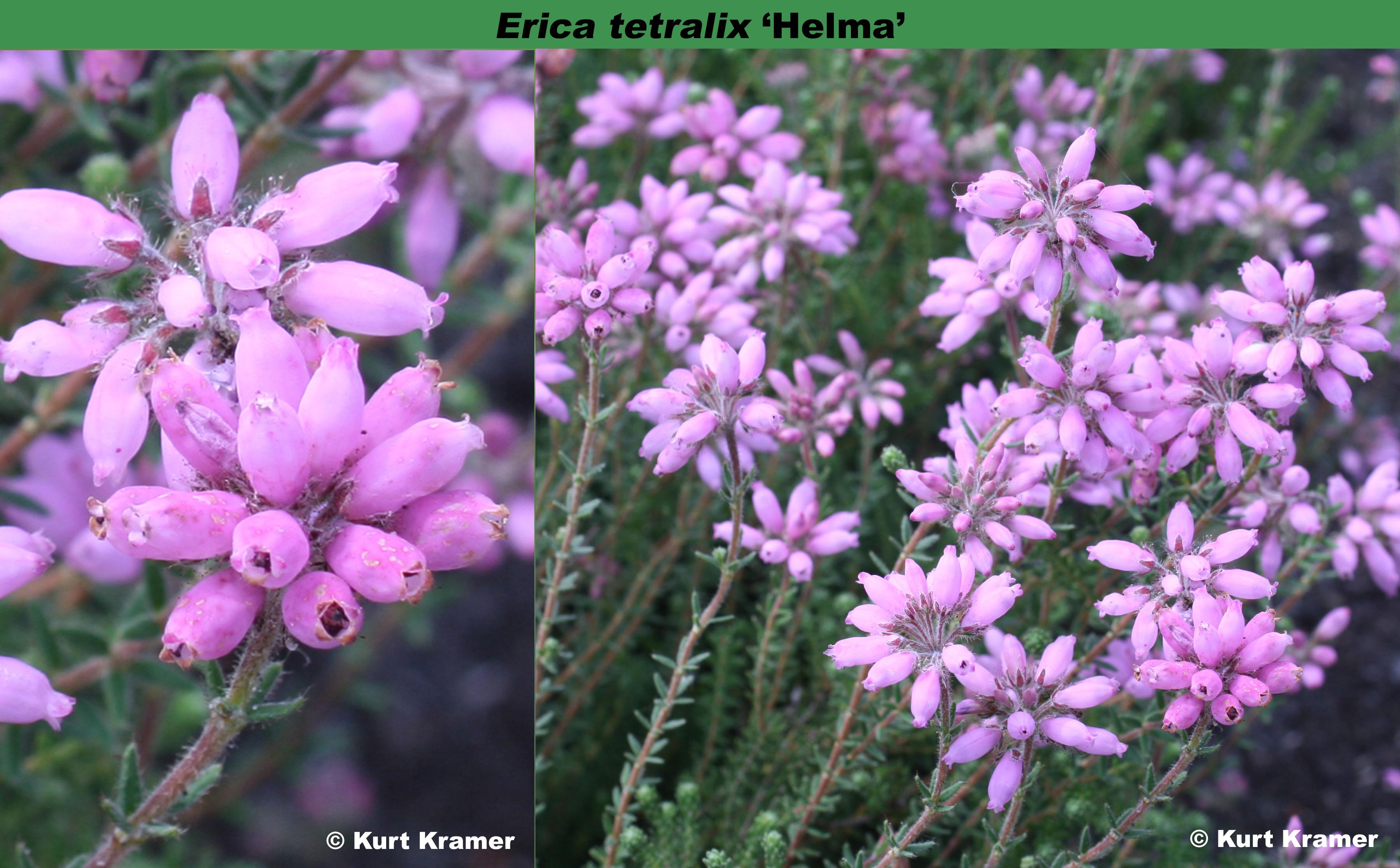'Helma '