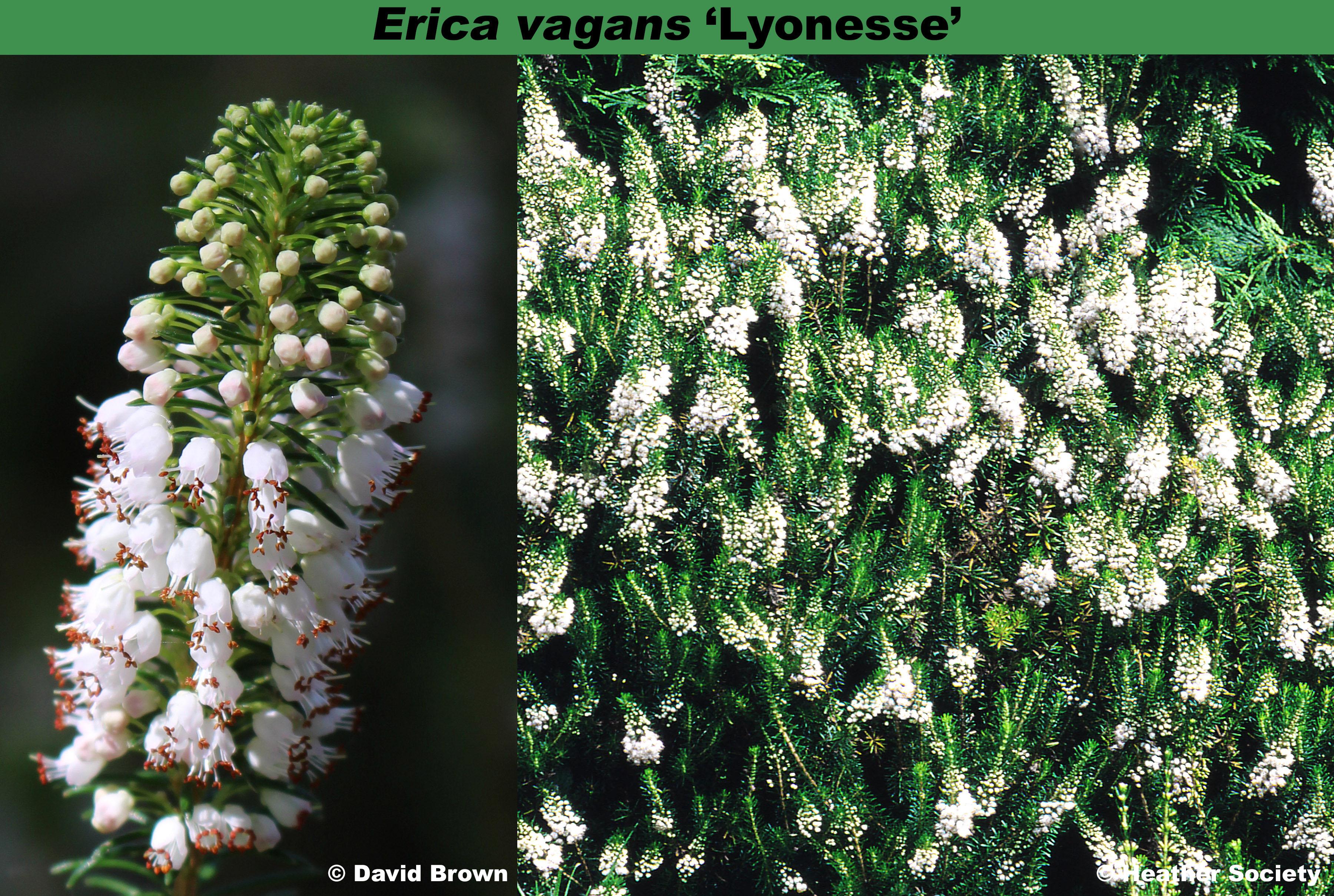 'Lyonesse'