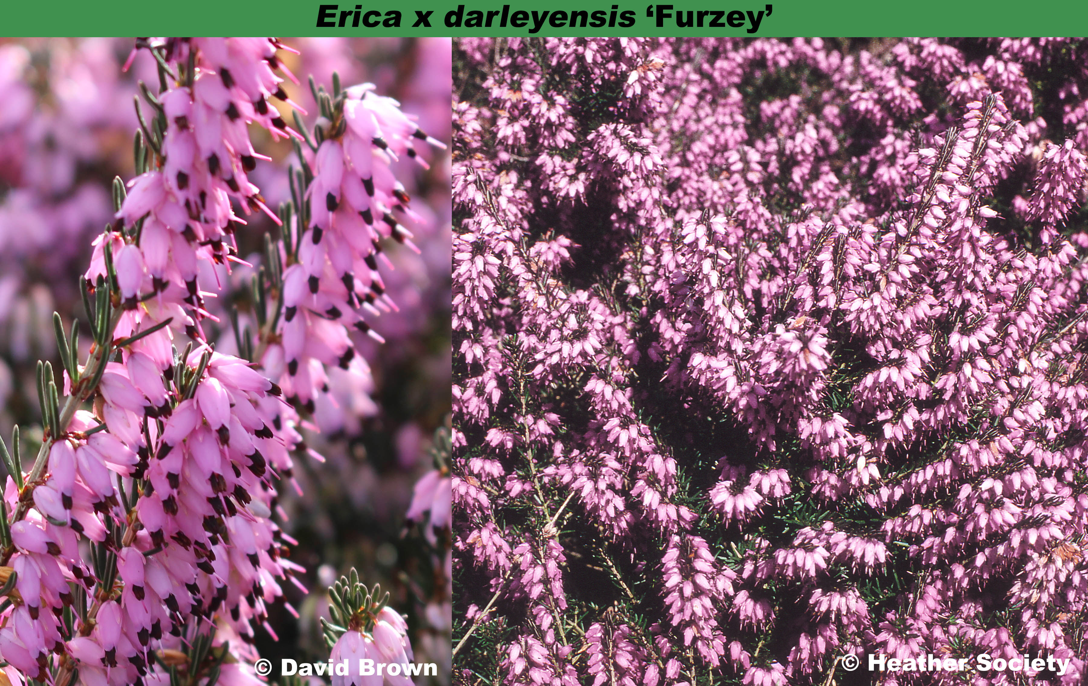 Erica x darleyensis 'Furzey'