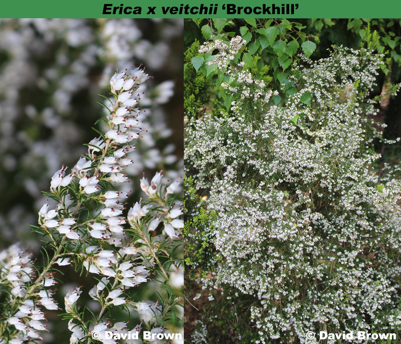 Erica x veitchii 'Brockhill'
