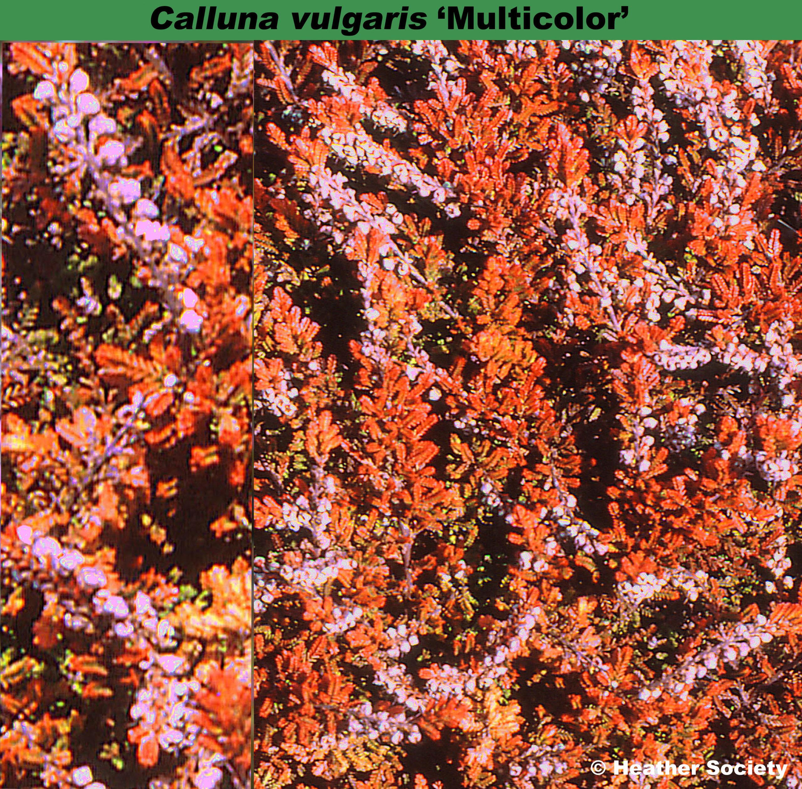 'Multicolor'